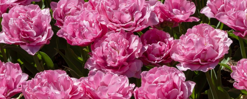 Beautiful,Spring,Summer,Pink,Rose,Peony,Flowers,Background